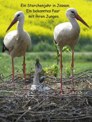 Ein Storchenjahr in Jössen. Ein bekanntes Paar mit ihren Jungen. - jetzt anschauen